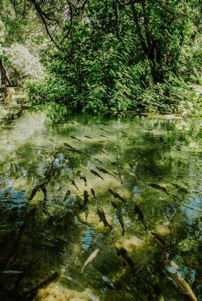 fish swarm in Krka river