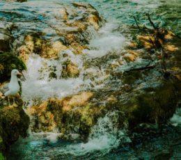 seagull overlooking Krka stream