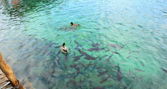 duscs and fish in clear Plitvice lake